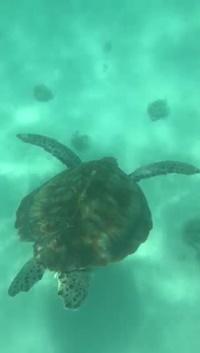 tortue marine ile maurice